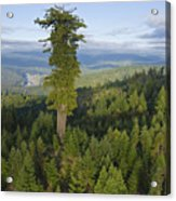 The Largest Patch Of Old Growth Redwood Acrylic Print by Michael Nichols