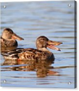 The Laughing Duck Acrylic Print by Wingsdomain Art and Photography