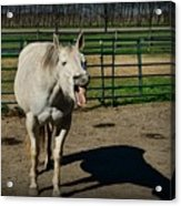 The Laughing Horse Acrylic Print