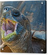 The Laughing Tortoise Acrylic Print