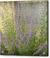 The Lavender Outside Her Window Acrylic Print