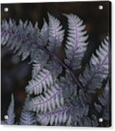 The Leaf Of A Japanese Painted Fern Acrylic Print