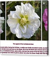 The Legend Of The Confederate Rose Acrylic Print