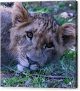 The Lion Cub Acrylic Print