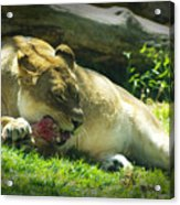 The Lion Eats Today Acrylic Print