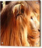 The Lion King's New Hairdont Acrylic Print