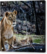 The Lioness Acrylic Print by Karol Livote