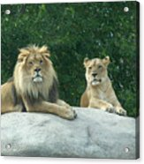 The Lions Acrylic Print
