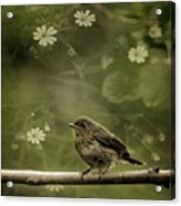 The Little Robin Acrylic Print