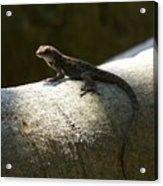 The Lone Lizard Acrylic Print
