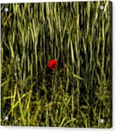 The Loneliness Of A Poppy Acrylic Print