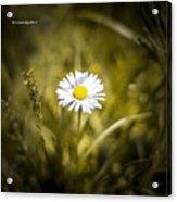 The Lonely Daisy Acrylic Print
