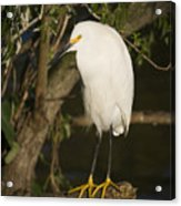 The Lonely Snowy Egret Acrylic Print