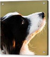 The Look Of A Dog Acrylic Print