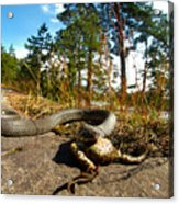 The Lunch Of Grass Snake Acrylic Print