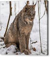 The Lynx Acrylic Print