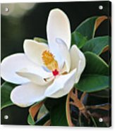 The Magnolia Acrylic Print by Mamie Thornbrue