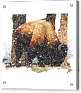 The Majestic Bison Acrylic Print