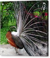 The Many Quills Of A Peacock Acrylic Print