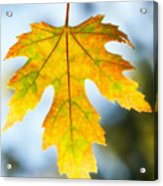The Maple Leaf Acrylic Print