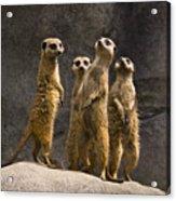 The Meerkat Four Acrylic Print