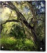 The Mighty Oaks Of Garland Ranch Park 1 Acrylic Print