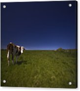 The Moody Cow Acrylic Print