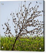 The More The Merrier- Tree Swallows  Acrylic Print