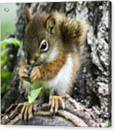 The Most Adorable Baby Squirrel Acrylic Print