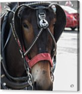 The Mule That Poses Acrylic Print