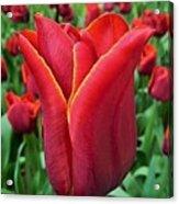 The Nederlands Tulip Festival 1 Acrylic Print