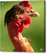 The Noble Transylvanian Naked Neck Chicken In Profile Acrylic Print
