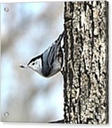 The Nuthatch Acrylic Print