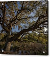 The Oak By The Side Of The Road Acrylic Print