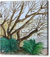 The Old Apricot Tree Acrylic Print
