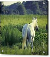 The Old Grey Mare Acrylic Print