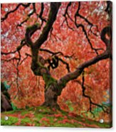 The Old Japanese Maple Tree In Autumn Acrylic Print