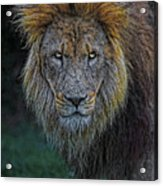 The Old Lion Acrylic Print