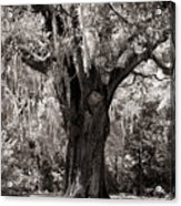 The Old Oak Is Still Standing Acrylic Print