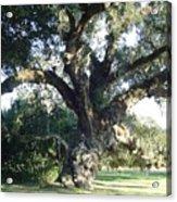The Old Oak Tree Acrylic Print