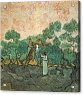 The Olive Pickers Acrylic Print by Vincent van Gogh