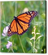 The Orange Butterfly Acrylic Print