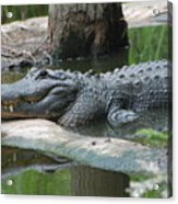 The Other Florida Gator Acrylic Print