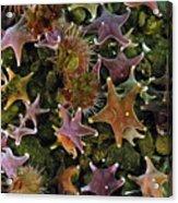 The Parade Of Stars Acrylic Print