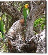 The Parrot Argument Acrylic Print