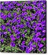The Pathway To Purple Acrylic Print