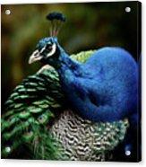 The Peacock - 365-320 Acrylic Print