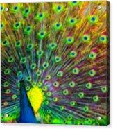 The Peacock Acrylic Print