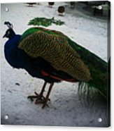 The Peacock In The Royal Garden In Winter Acrylic Print