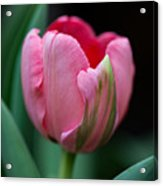The Peculiar Pink Tulip Acrylic Print